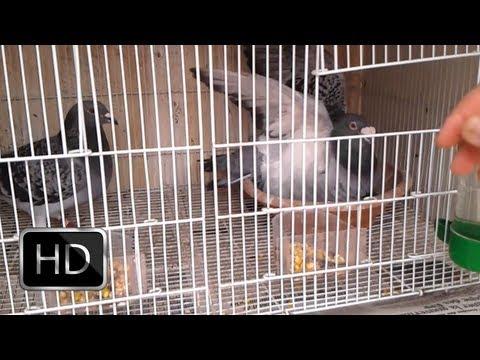 Pigeon Voyageur (Mes six reproducteurs)/حمام زاجل
