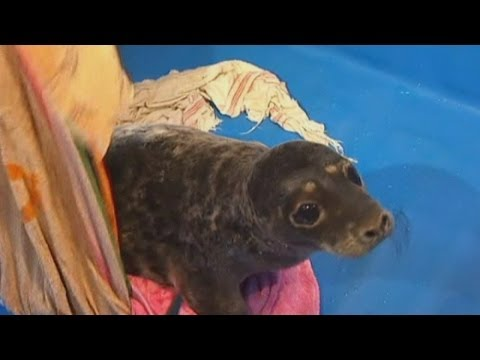 Baby seals rescued from oil pollution at St Petersburg rehab centre