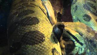 Anaconda Gets Feed At The Buffalo Zoo