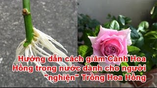 """Hướng dẫn cách giâm Cành Hoa Hồng trong nước dành cho người """"nghiện"""" Trồng Hoa Hồng"""