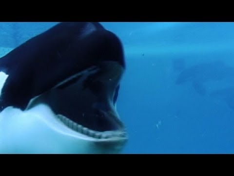 """Blackfish"" looks at whales in captivity"