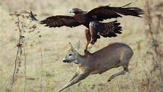 Águila ataca a venado