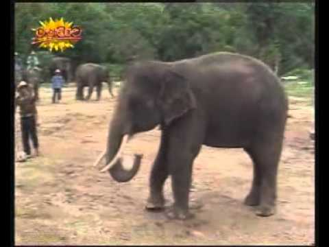 Elephant plays football in lndia