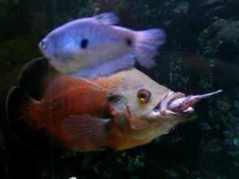Oscar eating fish - Yo...