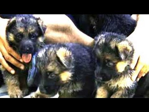Paras plays around with German Shepherd puppies