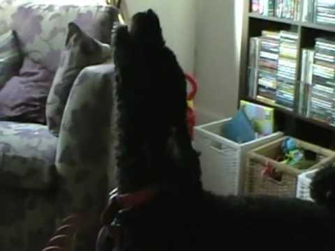 Spanish Water Dog: Rollo Dog loves Adele - Rolling in the deep