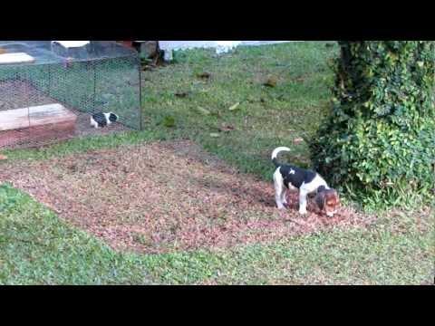 caçando porcos com uma beagle  B&B