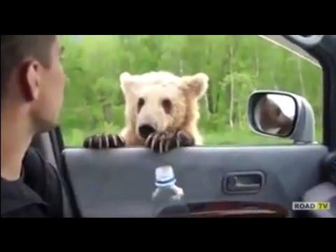 Медведь с детьми выпрашивает у водителей еду