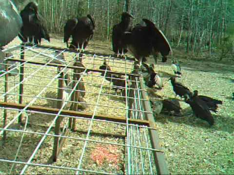 Buzzards on a pig carcass 3-11-10.wmv