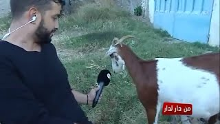 فيديو مضحك.. حمزة الفيلالي يحاور أنثى ماعز |