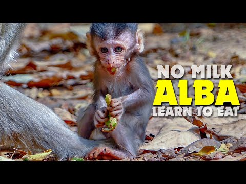 NO MILK! Hungry Monkey Alba Learn To Eat Because No Milk - Anna Is The Worse Mum Monkey Ever