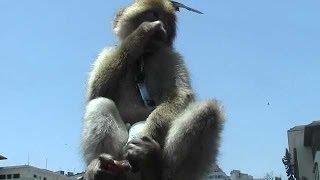 بالفيديو .. قرد يرتدى بامبرز بساحة محمد الخامس بالمغرب