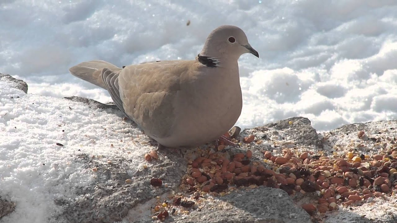 Dzikie go bie sierp 211 wki eurasian collared doves youtube