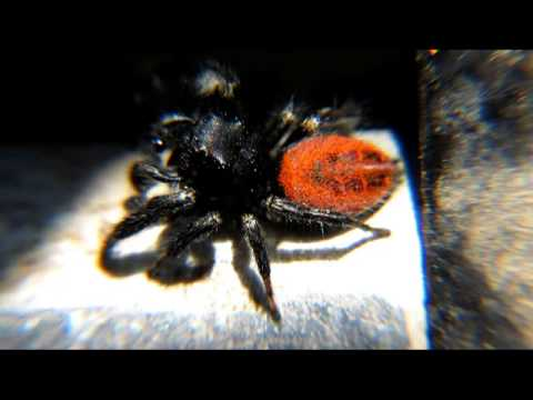 Black jumping spider with red dot - photo#16