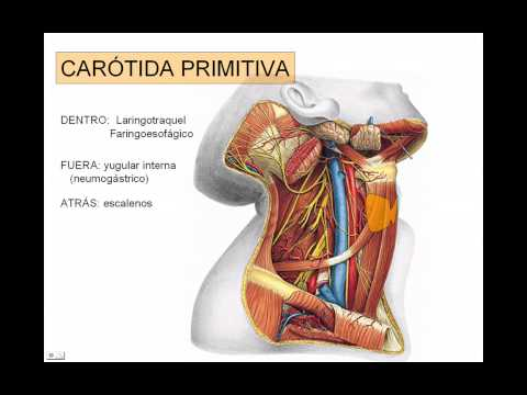 carotida exerna