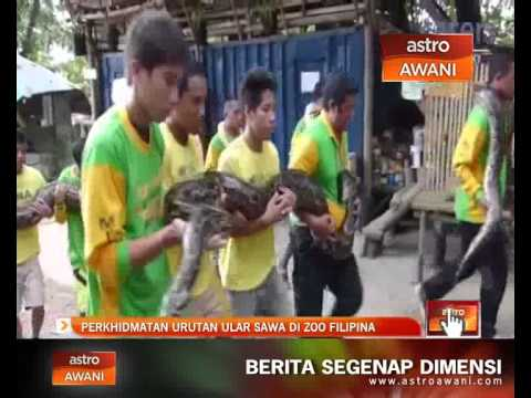 Perkhidmatan urutan ular sawa di Zoo Filipina