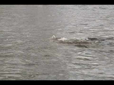 Frai du saumon atlantique sur la rivière à Mars