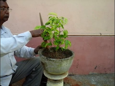 How to potting 2 Ficus tree for Bonsai