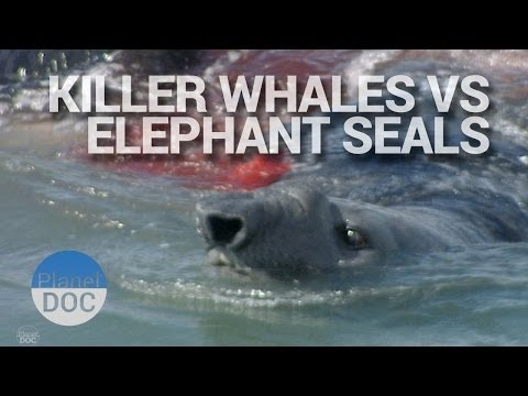 Killer Whales Vs Elephant Seals | Wild Animals - Planet Doc Full Documentaries
