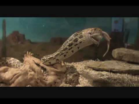 Bull snake eating rat