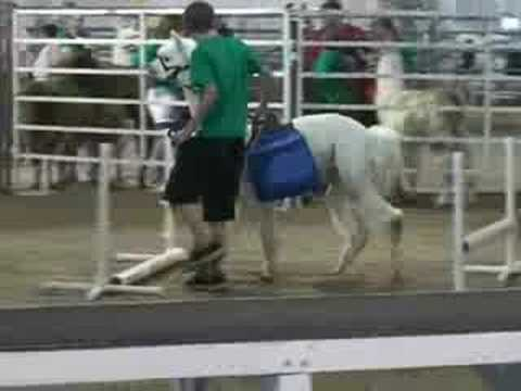 4-H Llama Demonstration, Members of the Star City Llamas 4-H Club showcased their llamas in a demonstration at the 2008 Lancaster County Fair. Video shows a llama and an alpaca go th...