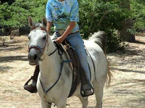 DJB Juniper trotting Pure Bred Arabian Best Condition 2008 Central Reg AERC 6 22 09