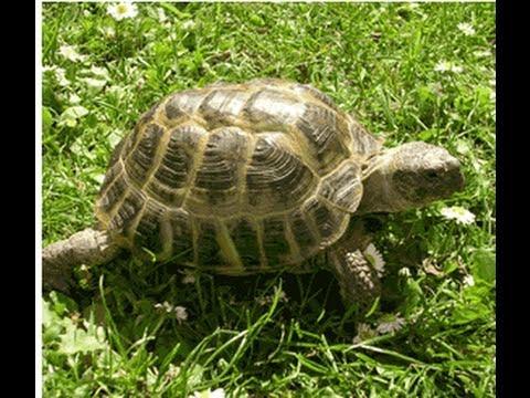 Russian tortoise care sheet! - YouTube