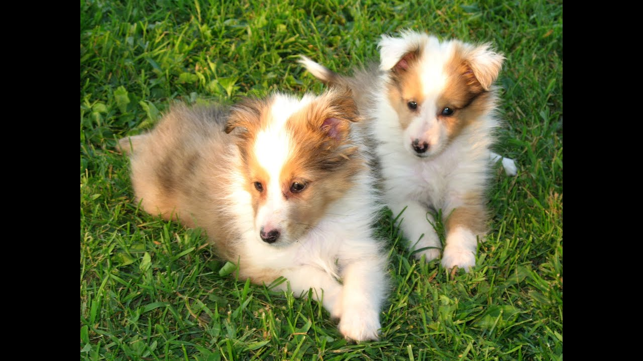 Displaying 16 gt images for miniature sheltie