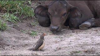 SafariLive Feb 22- Oxpeckers, Buffalo and a lot of ticks!