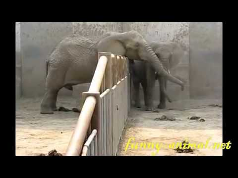 Elephant wahts to mate with its neighbor 大象发情了, 要上邻居母象