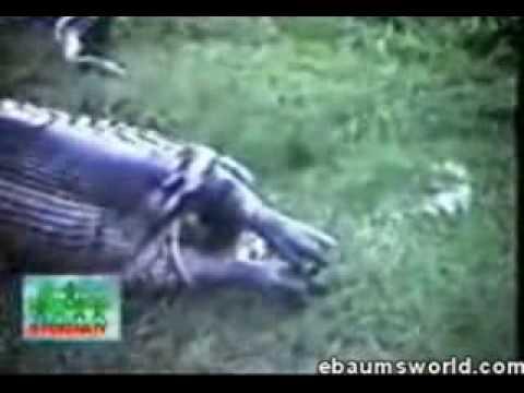 Anaconda eats hippo - YouTube