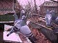 Pigeon Voiajori Porumbei