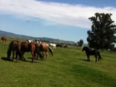 Stallion Mustang stealing mares in herd 6 of 6 - Rick Gore Horsemanship