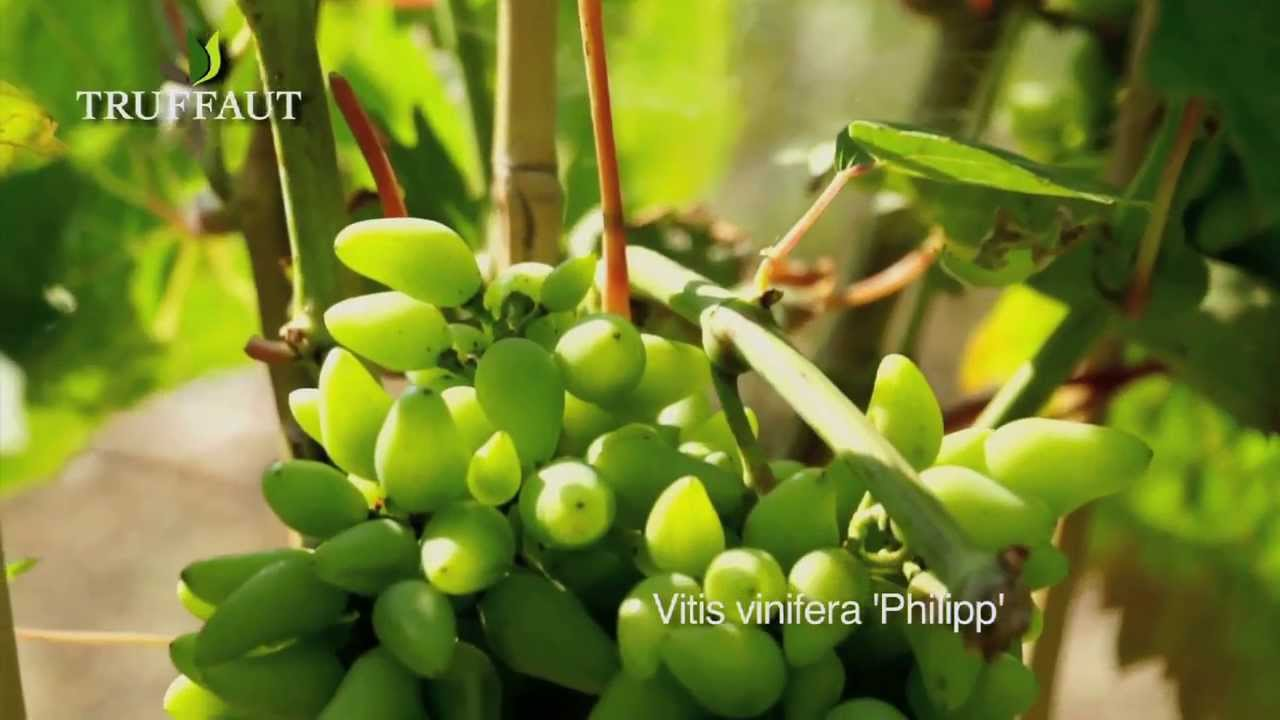 - Planter vigne raisin de table ...