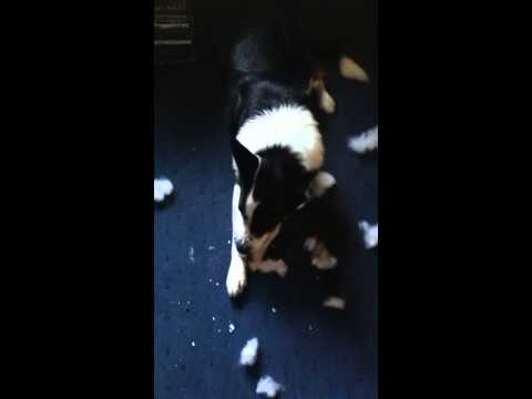 Naughty dog caught in the act, doesn't act guilty at all.