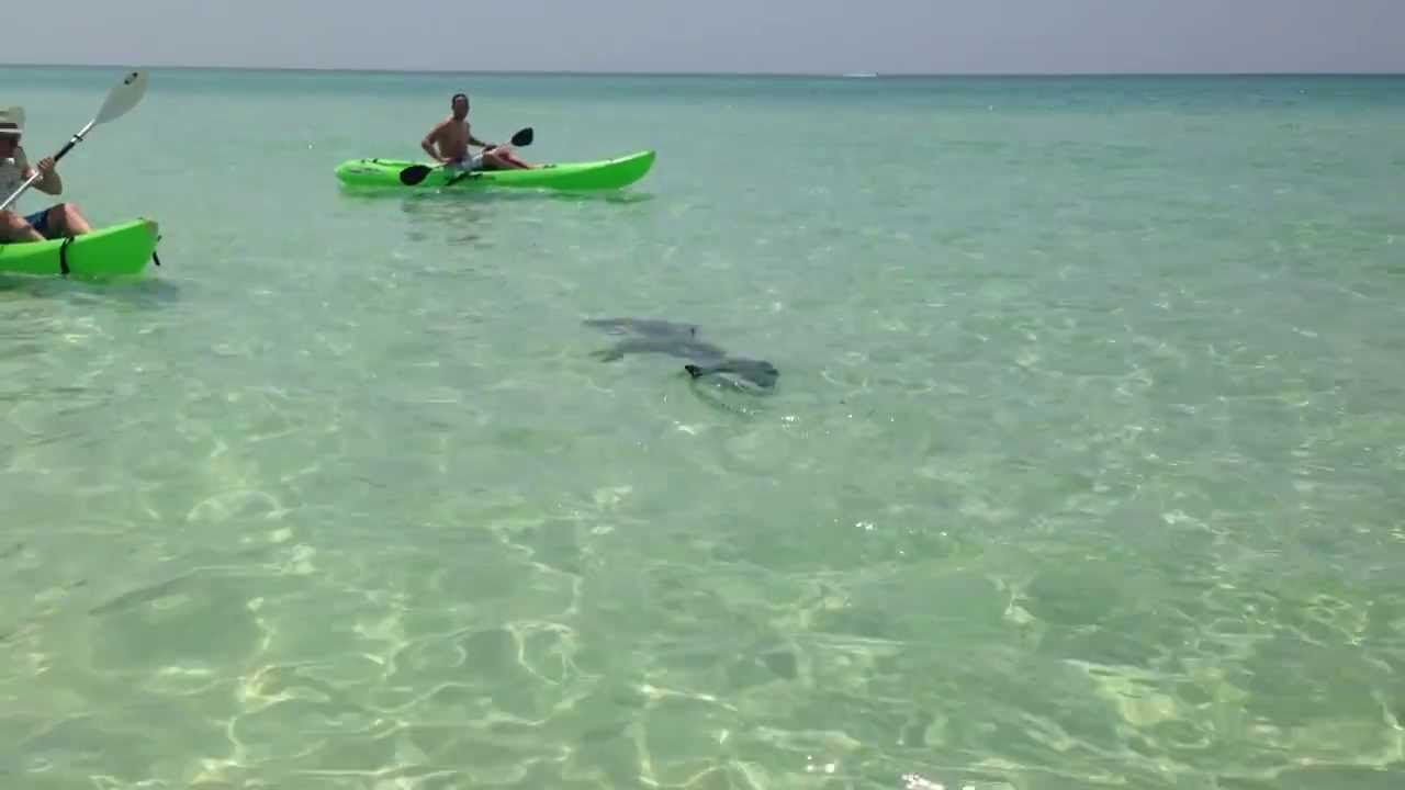 Hammerhead shark at miramar beach in destin fl 8 5 2013 for Destin shark fishing