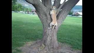 Pit Bull Climbs Trees