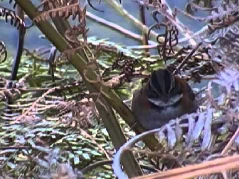 Aves de Venezuela-Correporsuelo