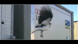[Piping Shrike Caught PIPING On Tape (most annoying sound)] Video