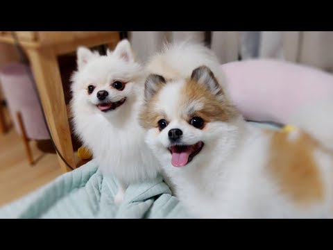 The Two Cute Pomeranians | Cute dog ♥ Funny dog