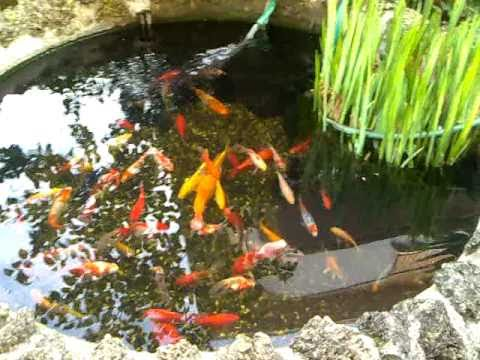 Koi carp and red fish fontana pond monterotondo youtube for Pesce rosso butterfly