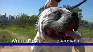 WHITE DEVIL MOST EXTREME LOOKING PIT BULL DOG
