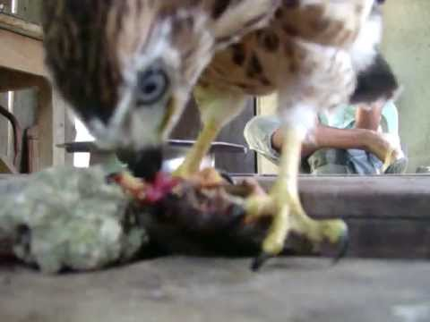 Philippine hawk eat water monitor lizard