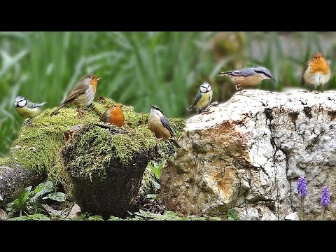 Tranquil Bird Song - ONE HOUR of Beautiful Birds and Bird Sounds