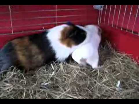 2009-10-27 Charlie & Emily (Mating Guinea Pigs) - YouTube