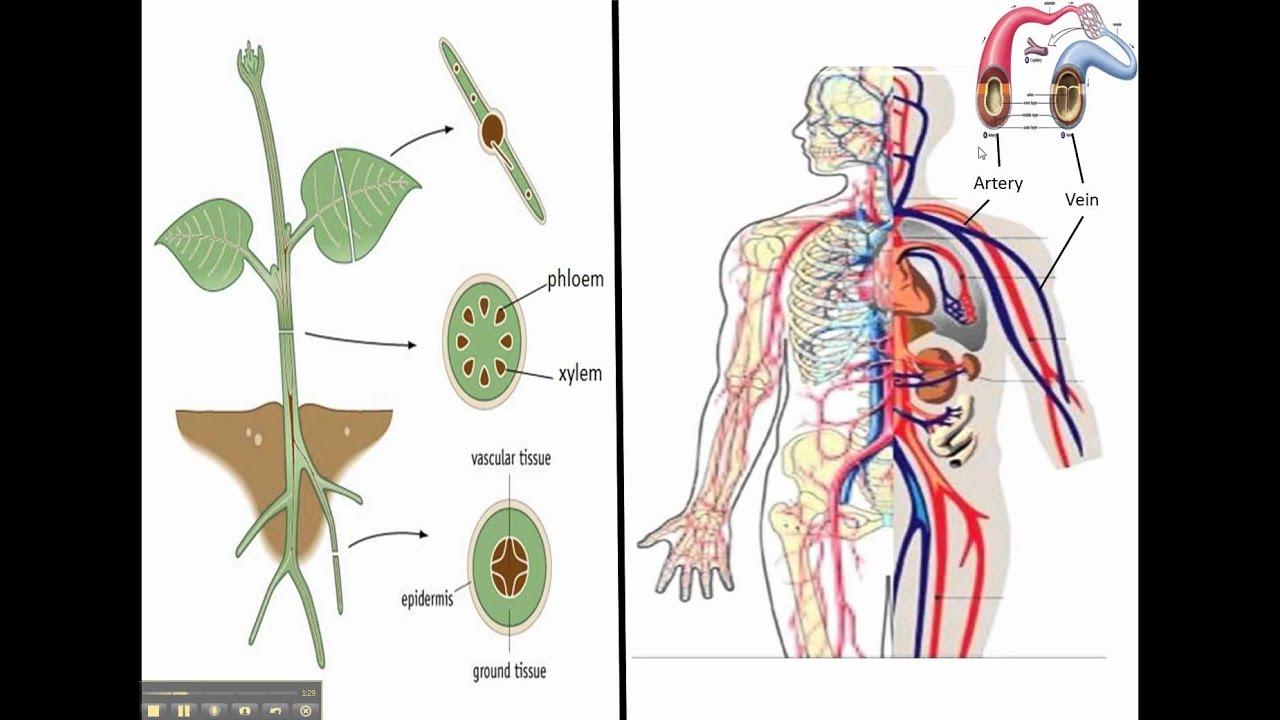 Xylem And Phloem Vs Circulatory System