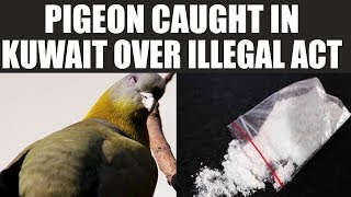 Kuwait pigeon caught carrying illegal Drugs..