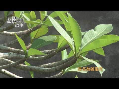 高雄市8棵百年老樹故事-雞蛋花(影片長度:4分36秒)