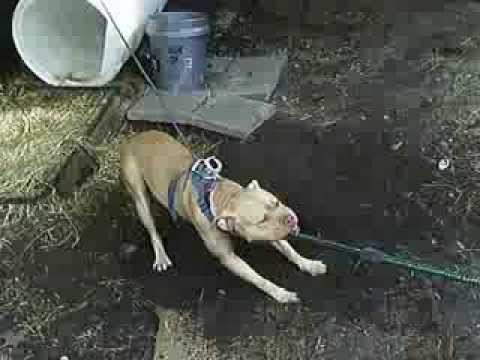 "Big Pretty Boy Kennels "" Buck Buck ""  Pitbull workout Video"