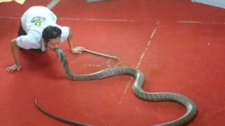 Dreadful kiss by a man to king cobra..